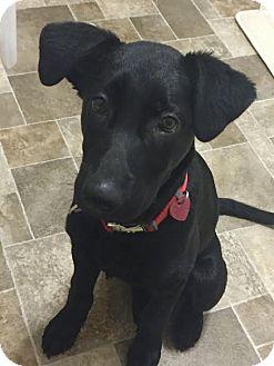 Labrador Retriever/German Shepherd Dog Mix Puppy for adoption in Sharon Center, Ohio - Sam