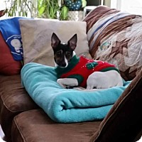Jack Russell Terrier/Rat Terrier Mix Dog for adoption in Tonawanda, New York - Lily