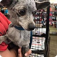 Adopt A Pet :: Murphy - Fresno, CA