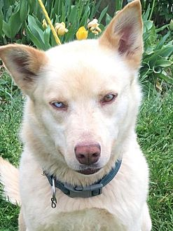 Husky Dog for adoption in Bristol, Virginia - Gabi