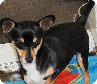 Chihuahua/Manchester Terrier Mix Dog for adoption in Seattle, Washington - Caper