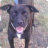 American Pit Bull Terrier/Labrador Retriever Mix Dog for adoption in Eddy, Texas - Lola