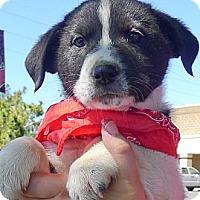 Adopt A Pet :: Indiana tiny superlovely - Sacramento, CA