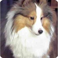 Adopt A Pet :: TEDDY BEAR - apache junction, AZ