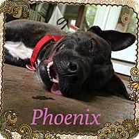 Adopt A Pet :: Phoenix - Tallahassee, FL