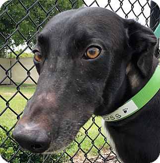 Greyhound Dog for adoption in Longwood, Florida - Boss Hog