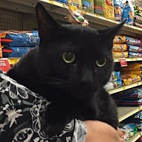 Domestic Shorthair Cat for adoption in Oviedo, Florida - Mookie