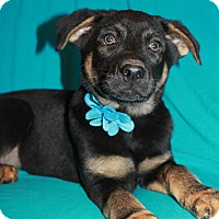 Adopt A Pet :: Apollo (has been adopted) - Trenton, NJ