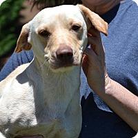 Adopt A Pet :: Belmont - Derby Litter - Acworth, GA