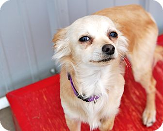 Chihuahua Mix Dog for adoption in Meridian, Idaho - Burke