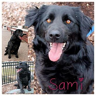 Flat-Coated Retriever/Border Collie Mix Dog for adoption in Garden City, Michigan - Sami