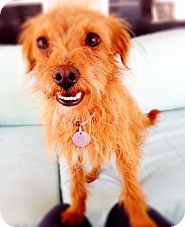 Norwich Terrier Mix Dog for adoption in Phoenix, Arizona - Frederick