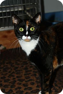 Calico Cat for adoption in North Branford, Connecticut - Rachel
