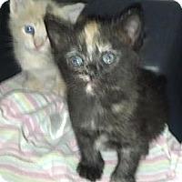 Adopt A Pet :: Yin and Yang - Dallas, TX