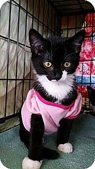 Domestic Shorthair Cat for adoption in Satellite Beach, Florida - Braveheart & Smidgey