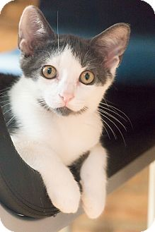 Domestic Shorthair Cat for adoption in Chicago, Illinois - Fitz