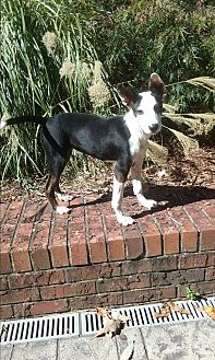 Fox Terrier (Smooth) Mix Puppy for adoption in Russellville, Kentucky - Minnie