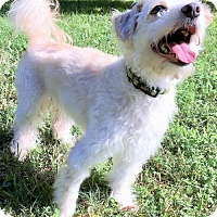 Poodle (Miniature)/Terrier (Unknown Type, Medium) Mix Dog for adoption in Waco, Texas - Spirit