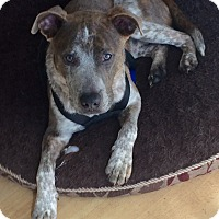 Adopt A Pet :: Cosmo in CT - Manchester, CT