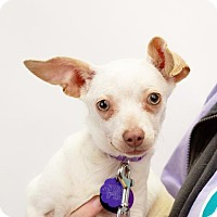 Adopt A Pet :: *Tiki Kibble - Pittsburg, CA