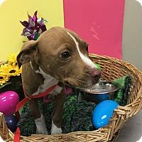 Adopt A Pet :: Bowser - Decatur, AL