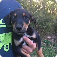 Shepherd (Unknown Type) Mix Puppy for adoption in Glastonbury, Connecticut - Fiona~adopted!