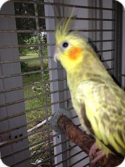 Cockatiel for adoption in Punta Gorda, Florida - Sunshine
