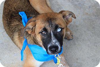 Collie/Shepherd (Unknown Type) Mix Puppy for adoption in Marietta, Georgia - Skye