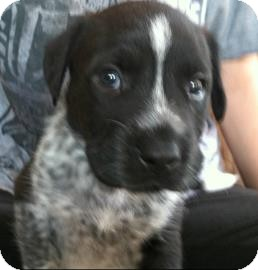 Australian Cattle Dog/Labrador Retriever Mix Puppy for adoption in Phoenix, Arizona - Theo