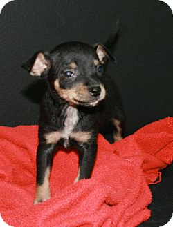 Chihuahua Mix Puppy for adoption in Lufkin, Texas - Roscoe