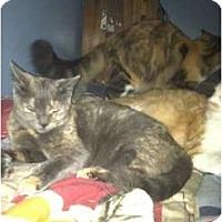 Adopt A Pet :: SPECIAL NEED KITTY'S - Clay, NY