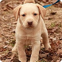 Adopt A Pet :: Reggie (SG) - Brattleboro, VT