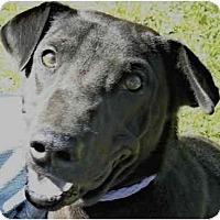 Adopt A Pet :: Alex Greyhound - Charleston, AR