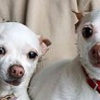 Chihuahua Dog for adoption in Georgetown, Colorado - Buddy & Cheeka