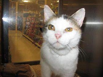 Domestic Shorthair Cat for adoption in Logan, Utah - Mama June