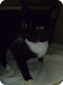 Domestic Shorthair Cat for adoption in Hamburg, New York - Fira