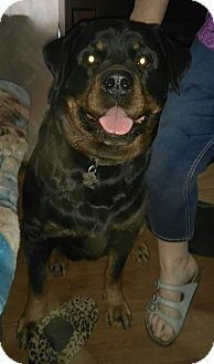 Rottweiler Dog for adoption in Northumberland, Ontario - CLEO