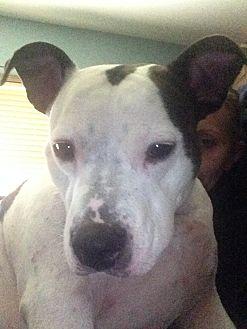 American Bulldog/Terrier (Unknown Type, Medium) Mix Dog for adoption in Morris, Illinois - NIKO