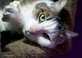Domestic Shorthair Cat for adoption in Tucson, Arizona - Stitch