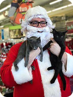 Domestic Shorthair Kitten for adoption in Covington, Kentucky - Fiona