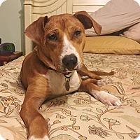 Adopt A Pet :: Chestnut - Huntsville, AL