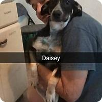Adopt A Pet :: Daisy - Marianna, FL