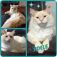 Adopt A Pet :: Adele - Royal Palm Beach, FL