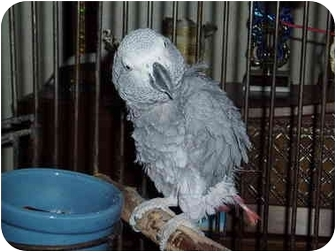 African Grey for adoption in Fountain Valley, California - Sherman