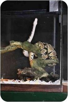 Snake for adoption in Longmont, Colorado - Dresden