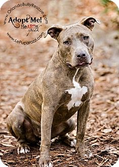 American Pit Bull Terrier Mix Dog for adoption in Orlando, Florida - Tinkerbell