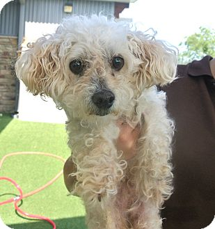 Poodle (Miniature) Mix Dog for adoption in white settlment, Texas - Rocky