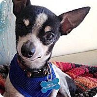 Rat Terrier/Chihuahua Mix Dog for adoption in West Los Angeles, California - Neil (Wedding Consultant)