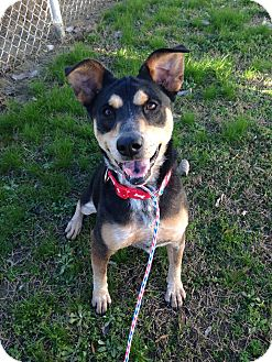 Australian Cattle Dog Mix Dog for adoption in Colonial Heights animal shelter, Virginia - Roxy