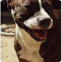 Adopt A Pet :: Danica-Pending - Fredericksburg, VA